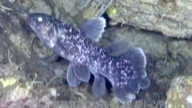 O exemplar raro, conhecido como fóssil vivo, foi encontrado por pesquisadores da Indonésia e do Japão